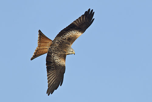 RedKite by Nigel McCall